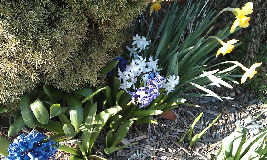 HTC Desire S Sample Image of white, blue, and yellow flowers