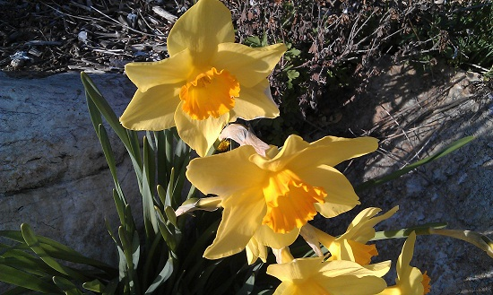 HTC Desire S Sample Image of yellow daiseys